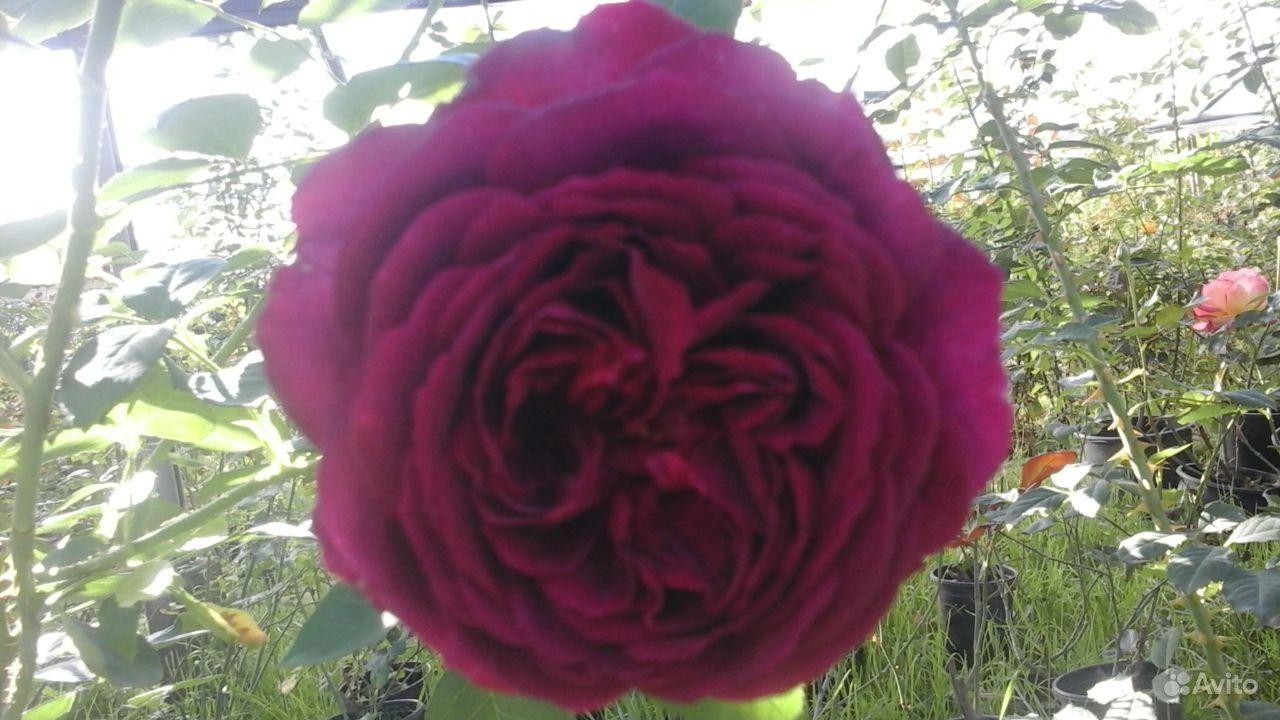 Спрей роза