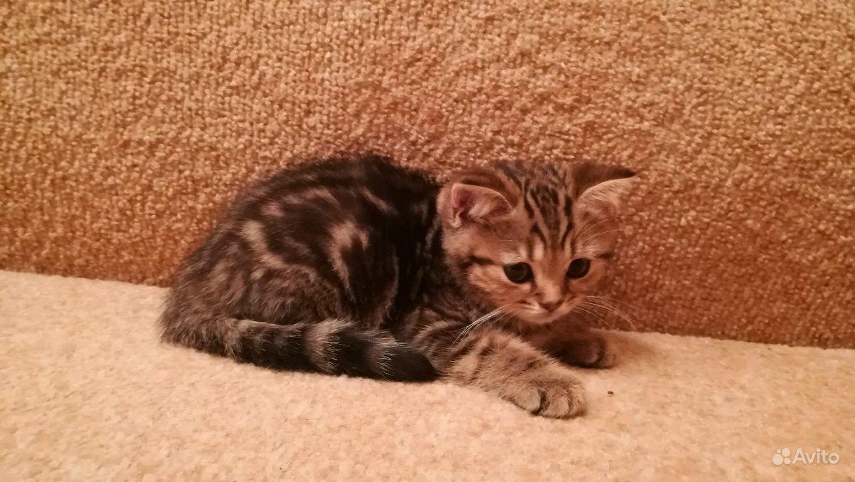 Британские котята в Воронеже - фотография № 2
