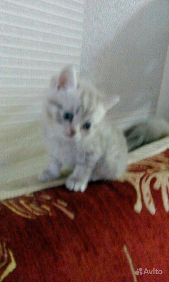 Британские котята в Саратове - фотография № 2
