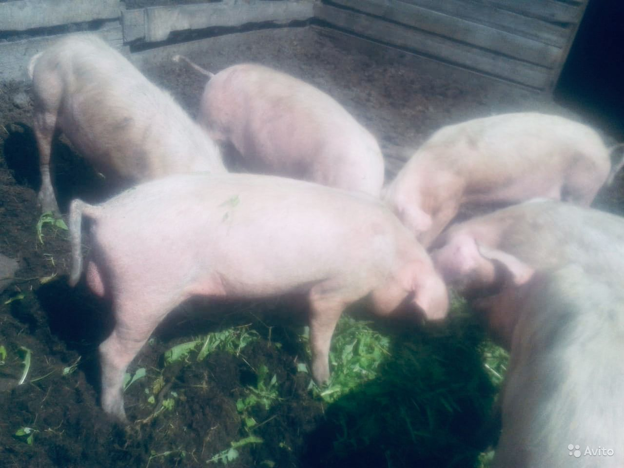 Свиньи хряки в Марьяновке - фотография № 3