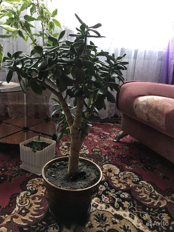 Растения для дома и офиса.цена договорная купить на Зозу.ру - фотография № 2
