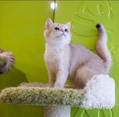 Золотой британский котик