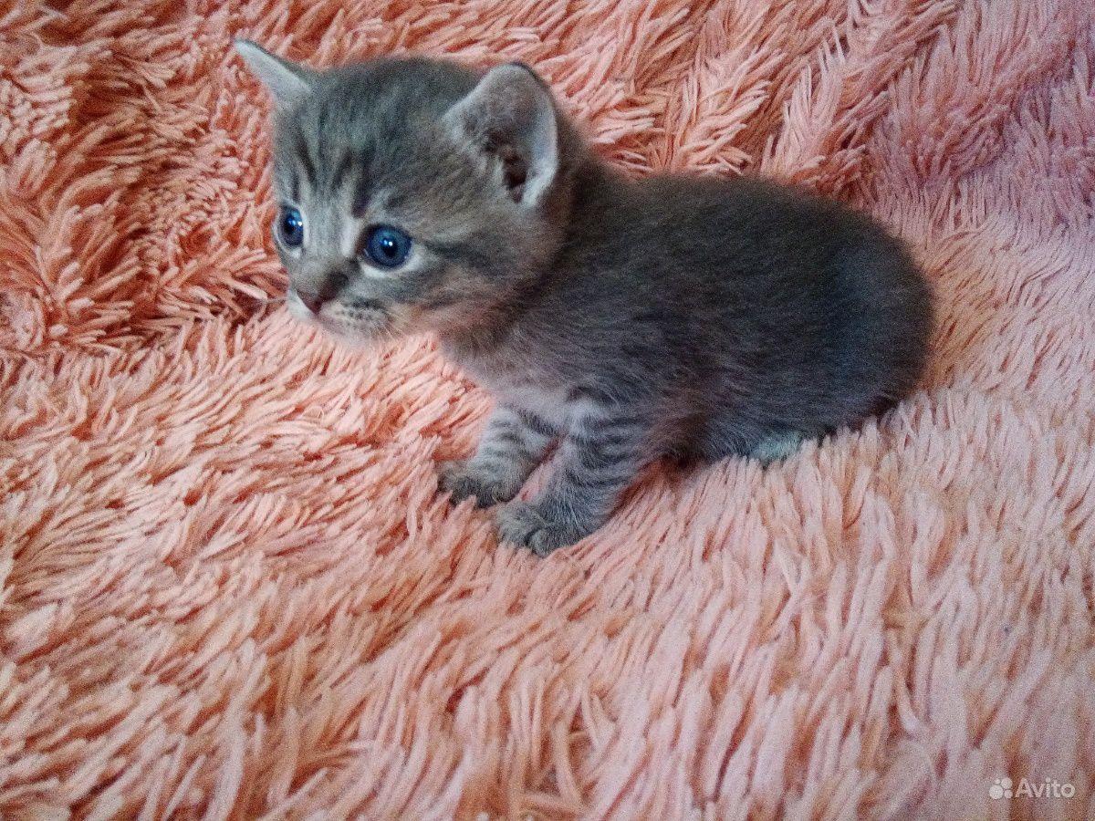 Кошечка шотландская короткошёрстная