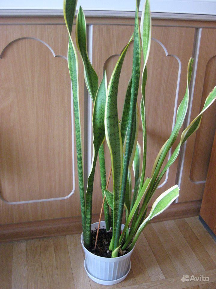 Красивое растение - тещин язык купить на Зозу.ру - фотография № 1
