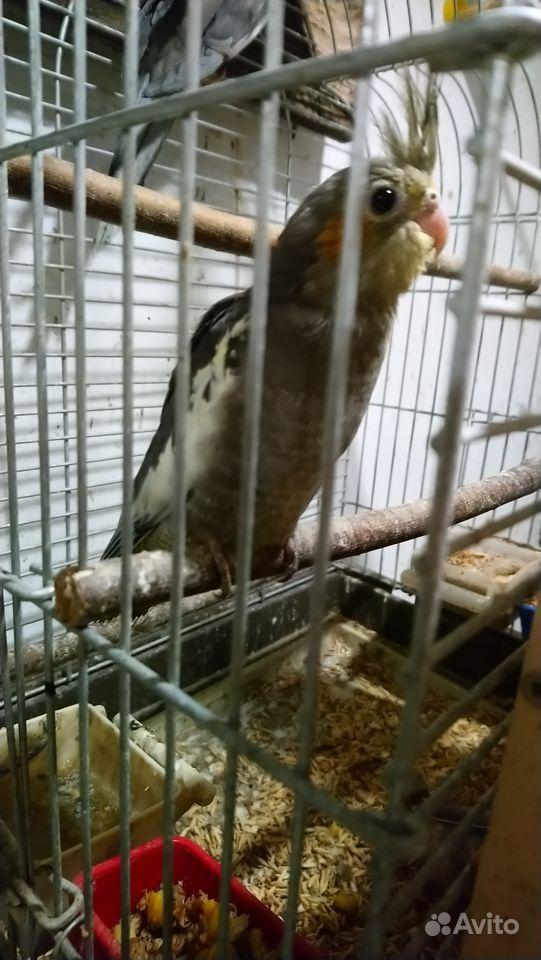 Попугаи кореллы & волнистые купить на Зозу.ру - фотография № 10