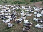 Продам гусей породы Крупный Серый и Гибрид