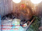 Цыплята сут Адлерские, Фавероль, Брама и Дворяне