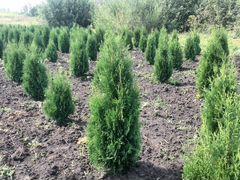 Саженцы вечнозеленых растений