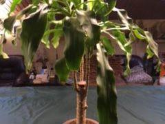 Пальмы из домашней оранжереи и др. деревья