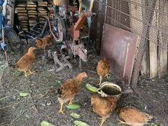 Цыплята кучинской