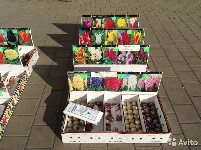 Луковицы тюльпанов крокусов