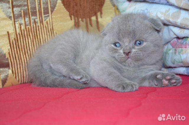 Шотландская вислоухая кошка. Описание: история, характер ...