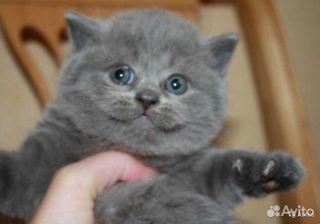 продажа котят британцев фото
