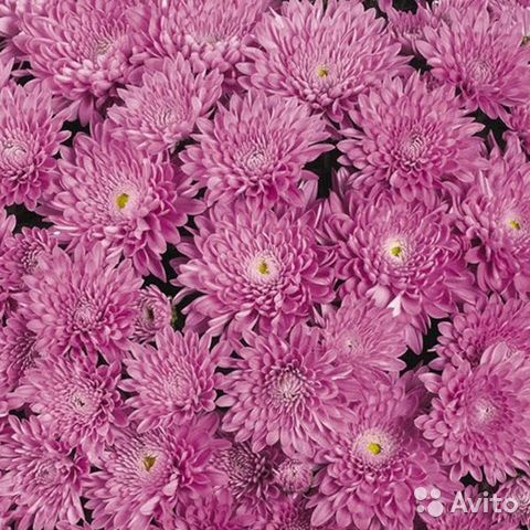 Хризантема Meridian Dark Pink