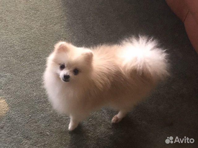 Подрощенный щенок цвергшпица купить на Зозу.ру - фотография № 5