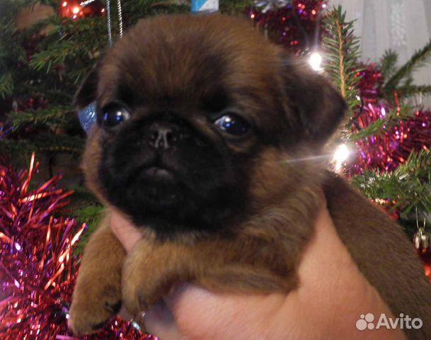 Чудесные щенки пти-брабансон ждут Вас купить на Зозу.ру - фотография № 4