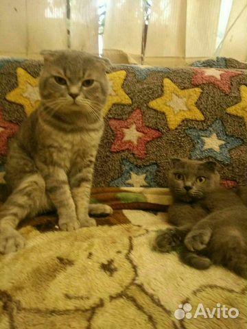 Британские котята 89788145185 купить 5