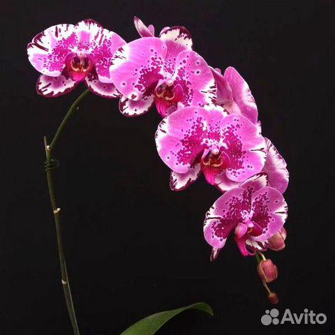 Орхидеи  89091710609 купить 8