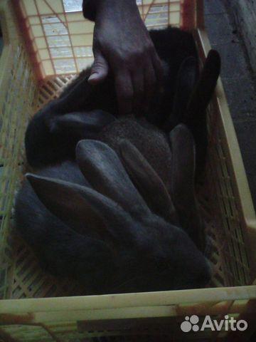 Крольчата  89159619381 купить 2
