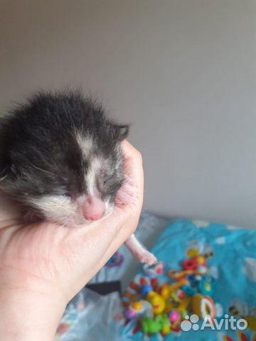 Продам сиамских котят  89004414706 купить 1