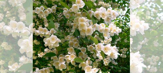 Жасмин крупноцветковый белый душистый купить в Краснодарском крае | Товары для дома и дачи | Авито