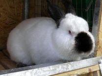 Калифорнийские кролики - самцы