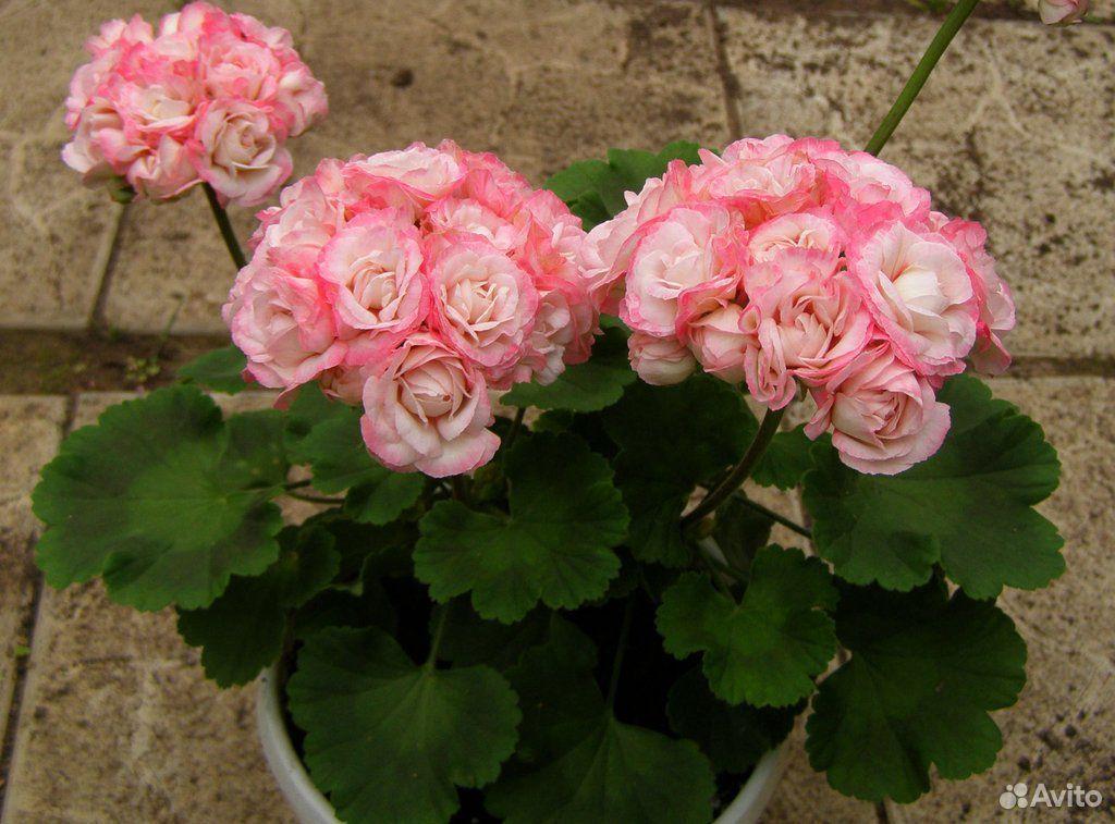 Розебудная пеларгония денис сутарве