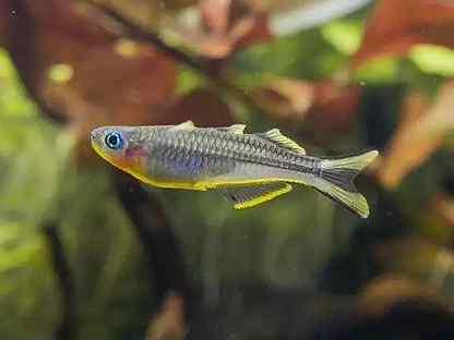 Рыба аквариумная попондетта фурката