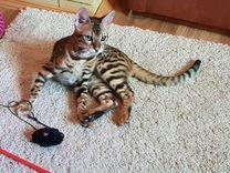 Бенгальский котенок 4.5 мес + провизия