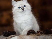 Невские-маскарадные Котята
