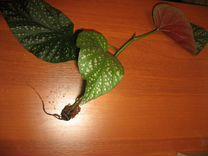 Черенок Бегонии с корнями (без горшка) — Растения в Москве