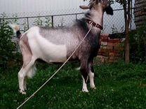 Альпийский козел для вязки