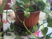 Сциндапсус, комнатное растение