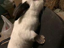 Кролики чистопородные калифорнийские
