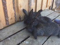 Продам кроликов породы французский баран