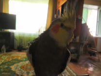 Говорящий самец кореллы
