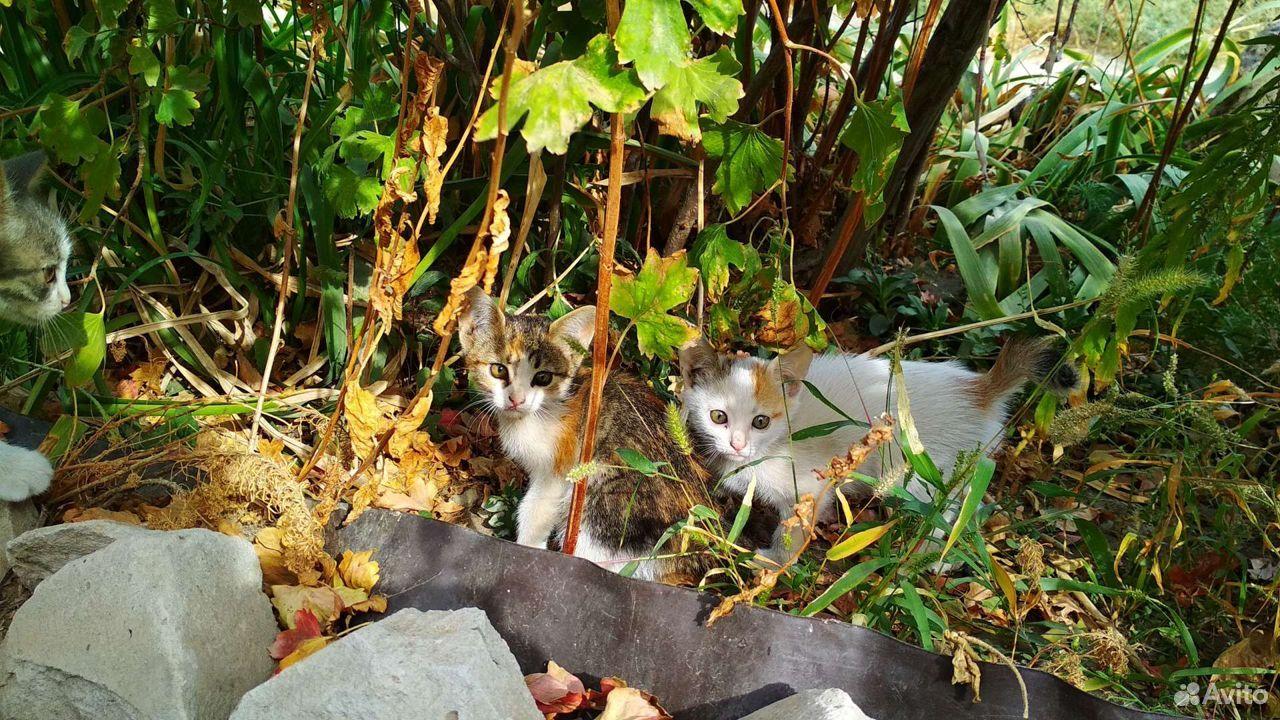 Котята, 5 очаровашек  89173308243 купить 6