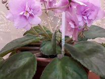Фиалка цветущая — Растения в Рязани