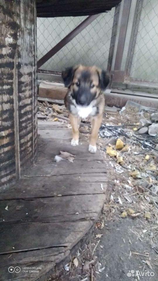 Собака  89088035504 купить 1
