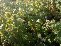 Саженцы малины — Растения в Саратове