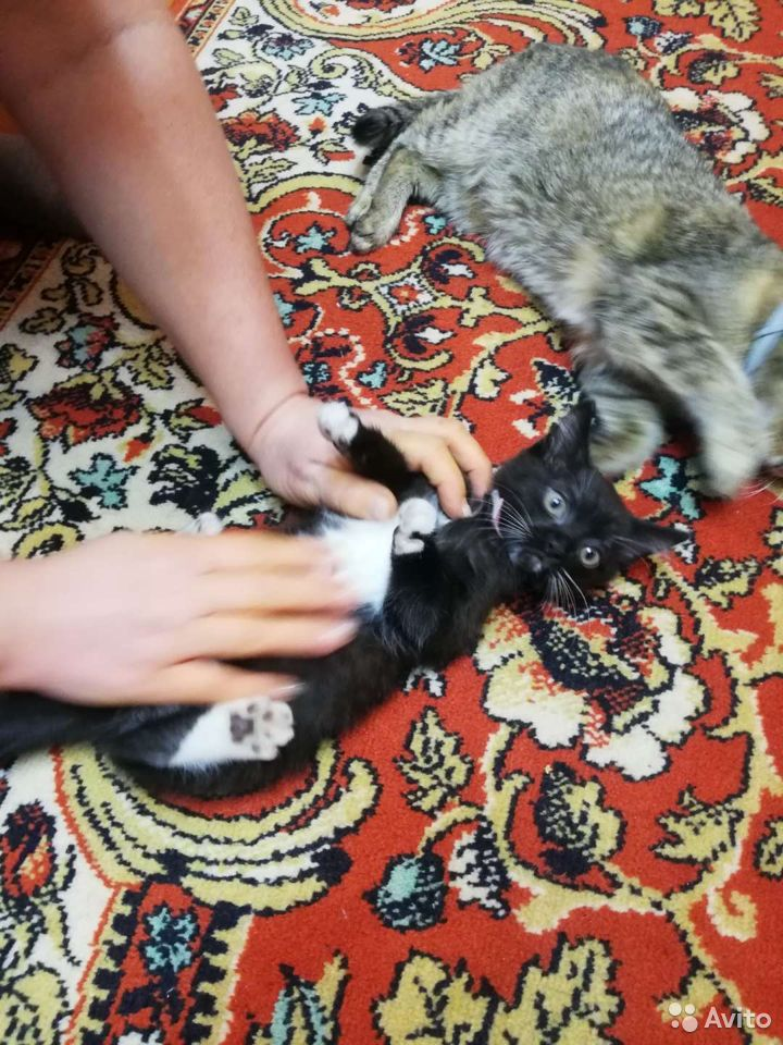 Котенок девочка  89831883735 купить 1