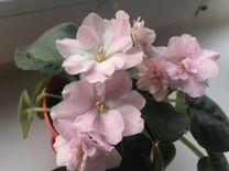 Фиалка — Растения в Рязани