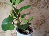 Комнатные растения.цветы Сансевиерия