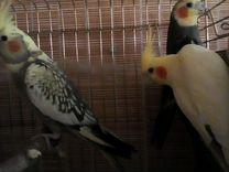 Пара попугаев корелл и птенец