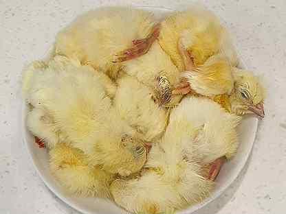 расположенными под фотографии оценки пупка суточного цыпленка фото уже подробно рассказывала