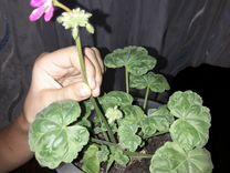 Пеларгония герань — Растения в Саратове