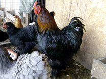 Инкубационное яйцо Кохинхина и Брамы