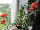 Эсхинантус, Хойя, орхидея Лудизия