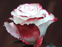 Саженцы сибирские розы, зимастокие, питомник район