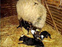 Барашки овцы